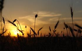 Обои поле, небо, солнце, вечер, колоски, на закате