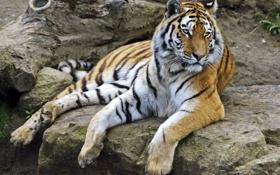 Обои кошка, тигр, камни, отдых, амурский
