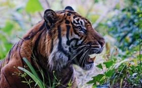 Обои морда, тигр, хищник, пасть, клыки, профиль, дикая кошка
