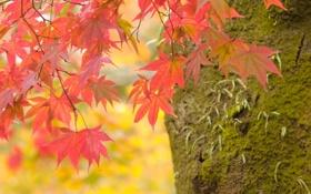Обои Листья, Природа, Ветки, Дерево, Макро, Осень, Фото
