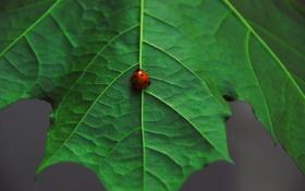 Обои макро, лист, зеленый, божья коровка, жук