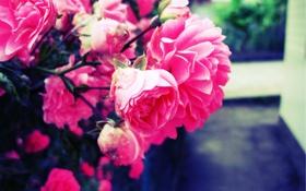 Обои цветок, розовый, Роза, размытие