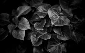 Обои листья, фон, ч/б