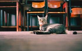 Обои взгляд, Кошка, стул