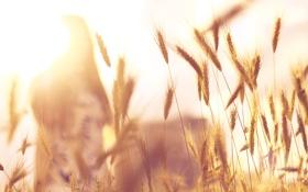 Картинка девушка, солнце, колоски, боке