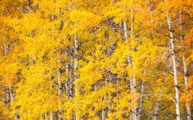 Обои осень, листья, деревья, осина