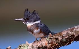 Картинка фон, птица, ветка, Megaceryle alcyon, опоясанный пегий зимородок