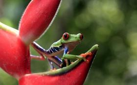 Картинка лягушка, зеленая, смотрит