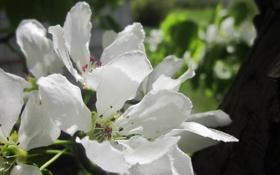 Обои белый, дерево, Цветы, ранетка.