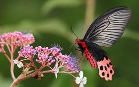 Обои цветок, гортензия, макро, бабочка