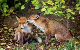 Обои нежность, пара, лисы
