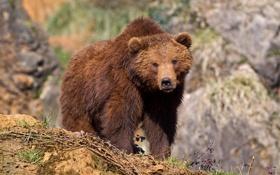 Картинка природа, фон, медведь