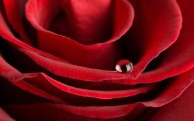Обои роза, капля, лепестки, бутон