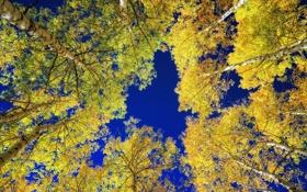 Обои березы, осень, небо, деревья