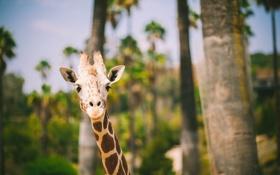 Обои животное, жираф, смотрит
