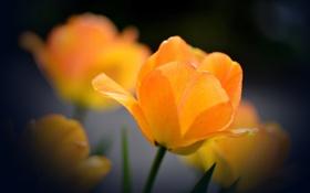 Обои оранжевый, фон, тюльпан, раскрывшийся