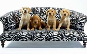 Обои диван, четверо, Собаки
