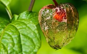 Обои листья, природа, растение, физалис, китайский фонарик
