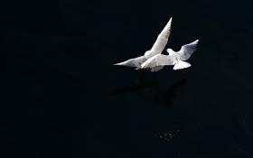 Обои птицы, полёт, чёрный фон