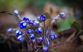 Картинка цветы, весна, Anemone hepatica