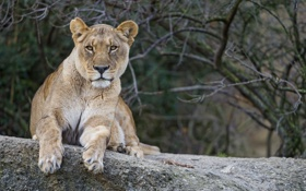 Обои кошка, взгляд, львица, ©Tambako The Jaguar