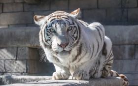 Обои кошка, взгляд, камни, белый тигр