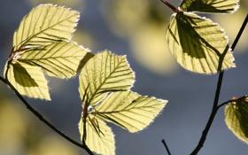 Картинка листья, Макро, ветка