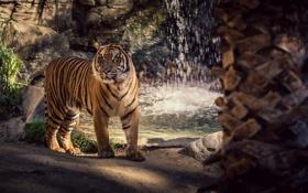 Картинка морда, полоски, тигр, хищник, дикая кошка