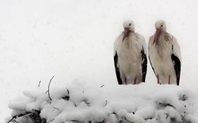 Картинка природа, снег, аисты, птицы