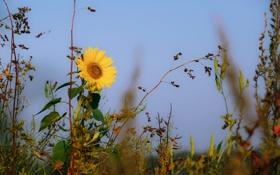 Обои цветок, небо, макро, подсолнух, растения