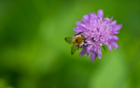 Обои цветок, пчела, сиреневый, насекомое, фон, зеленый, макро