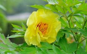 Обои желтый, листва, куст, пион
