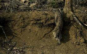Обои лес, кошка, леопард, leopard, крадётся