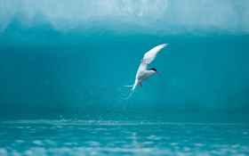 Обои чайка, вода, всплеск