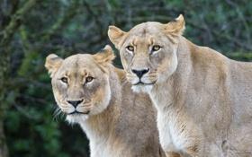 Обои кошки, пара, львицы, ©Tambako The Jaguar