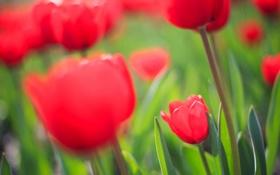 Обои поле, фокус, весна, тюльпаны, красные