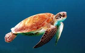 Картинка море, черепаха, голова, морская, панцирь, ласты