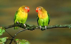 Обои листья, птицы, ветка, попугаи, разноцветные, крупным планом, неразлучники
