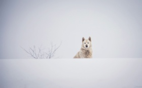 Обои зима, белый, морда, снег, собака, пёс