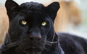 Обои кошка, морда, чёрный, пантера, леопард, ©Tambako The Jaguar