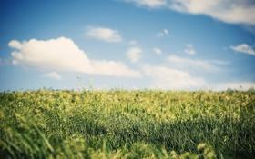 Картинка колосья, трава, небо, лето, поле, пшеница, природа