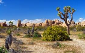 Картинка песок, цветы, камни, пустыня, растения, national park, Joshua tree