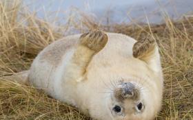 Картинка трава, тюлень, сухая