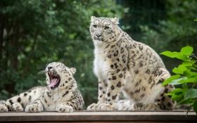 Картинка кошки, пара, ирбис, снежный барс, зевает