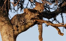 Обои кошка, дерево, отдых, леопард