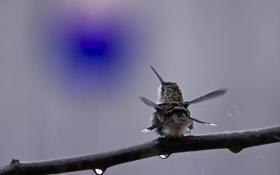 Картинка капли, птица, ветка, колибри, спиной, встряхивается