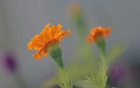Картинка цветы, природа, растение, лепестки, стебель