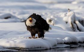 Картинка зима, снег, птица, хищник, Белоголовый орлан