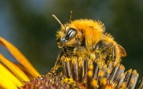 Картинка цветок, пчела, пыльца, насекомое
