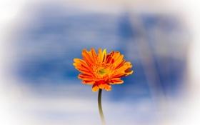 Картинка цветок, капли, природа, роса, растение, лепестки, стебель